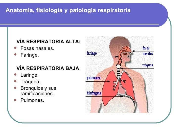 Anatomía, fisiología y patología respiratoria <ul><li>VÍA RESPIRATORIA ALTA: </li></ul><ul><li>Fosas nasales.   </li></ul>...