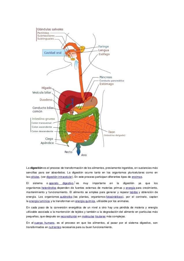 Anatomia aparato digestivo impri