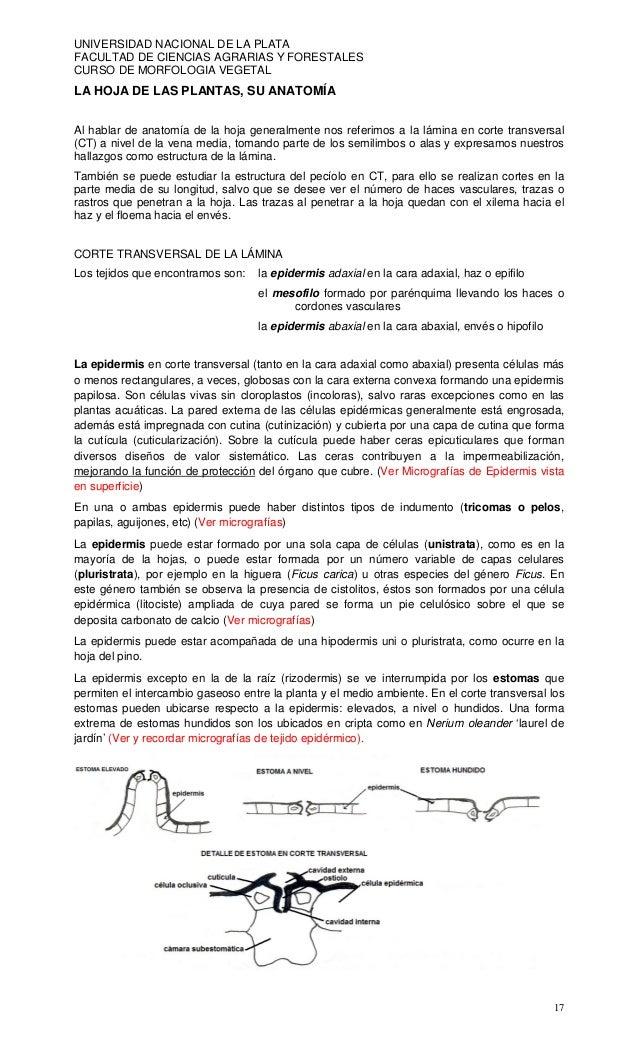 UNIVERSIDAD NACIONAL DE LA PLATAFACULTAD DE CIENCIAS AGRARIAS Y FORESTALESCURSO DE MORFOLOGIA VEGETALLA HOJA DE LAS PLANTA...
