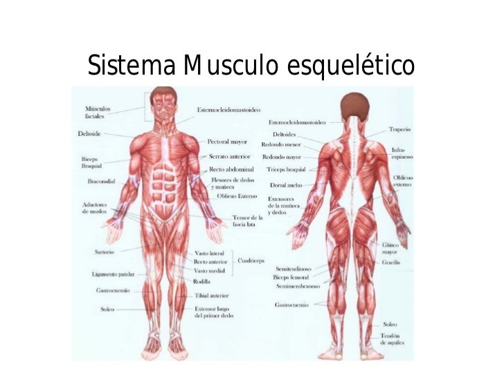 Alarcón Ibáñez Mariana 502: Sistema musculo esquelético