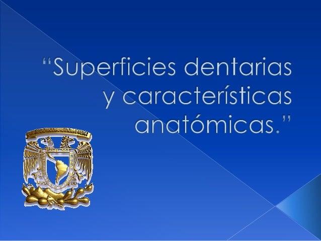 SUPERFICIES DENTARIAS:                         LÓBULOS   Son unas prolongaciones que emite el punto de calcificación   cua...