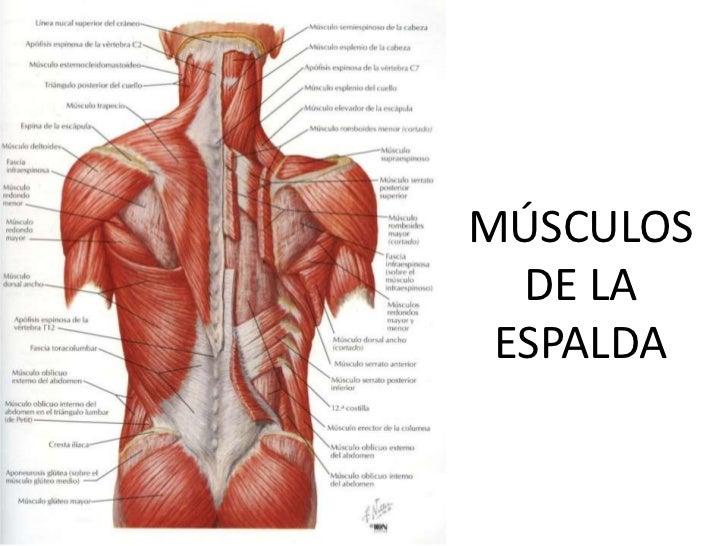 Excepcional Anatomía De La Musculatura De La Espalda Viñeta ...