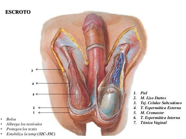 Sistema Urinario Masculino Sistema Urinario Masculino