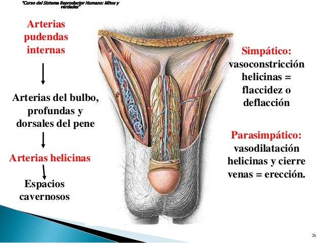 De la crema de la irritación sobre el pene