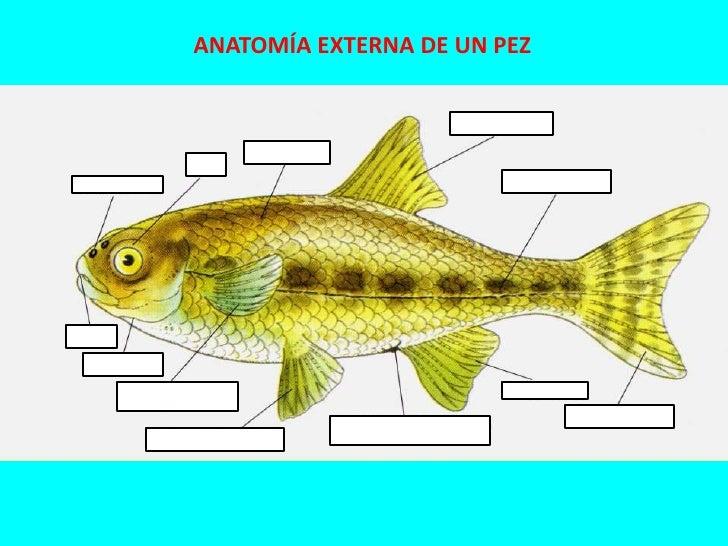 Anatomia externa de un pez for Pez cachama