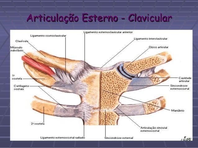 Saiba mais sobre a articulação esternoclavicular