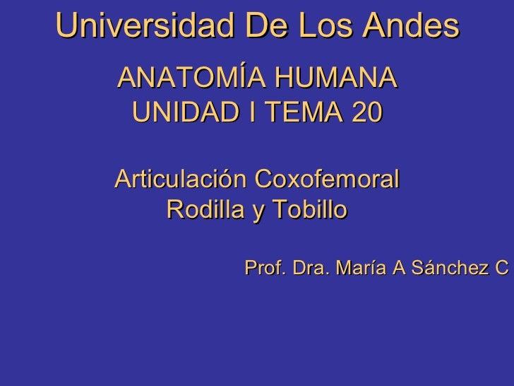 Universidad De Los Andes ANATOMÍA HUMANA UNIDAD I TEMA 20 Articulación Coxofemoral Rodilla y Tobillo Prof. Dra. María A Sá...