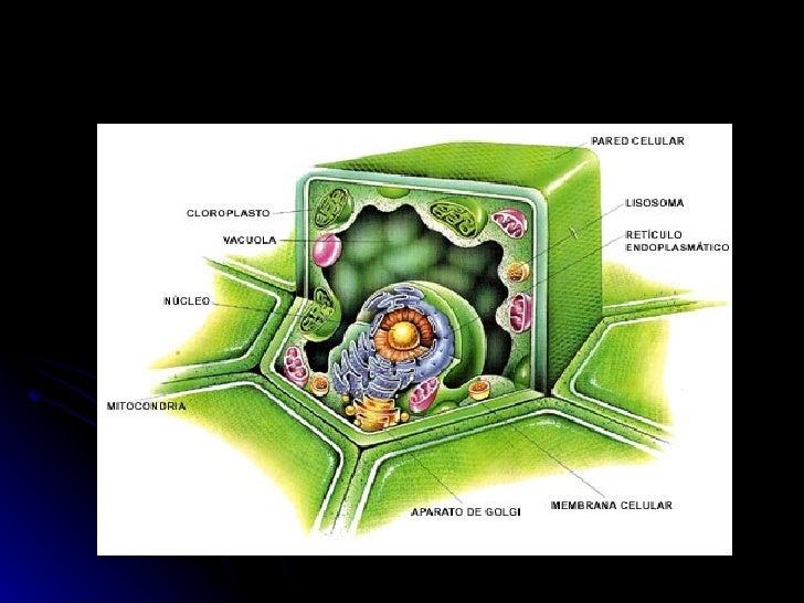 MEMBRANA PLASMÁTICA                                 Es una bicapa                                 lipídica, que           ...
