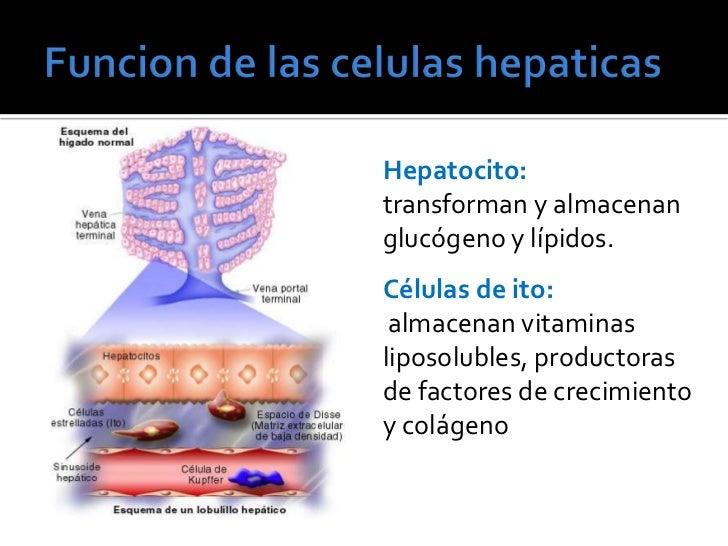 funcion hepatica de los esteroides
