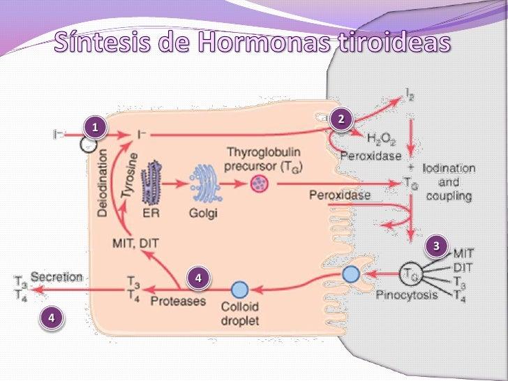 hormonas esteroideas y sus receptores