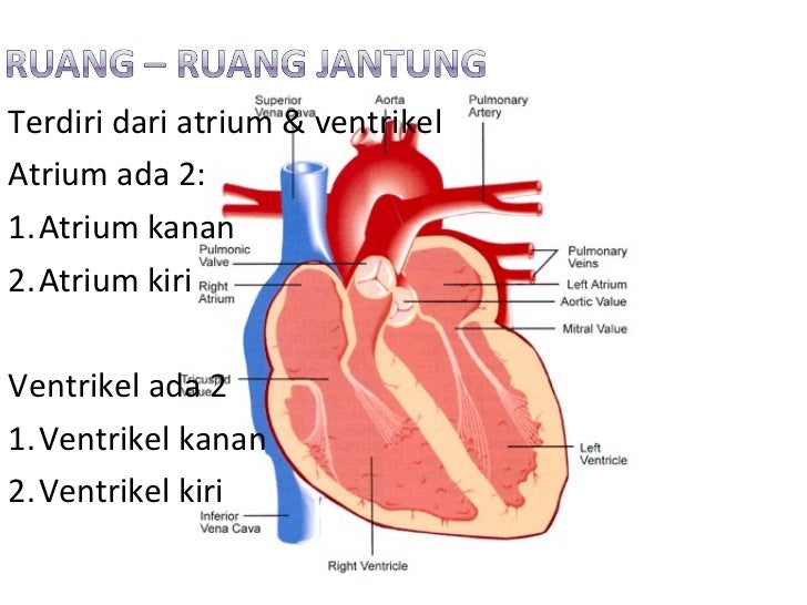 56 Mediastinum additionally Thx 20Disect 2032 moreover Slide View additionally Mucormycosis as well Anatomi Dan Fisiologi Jantung. on mediastinum of heart