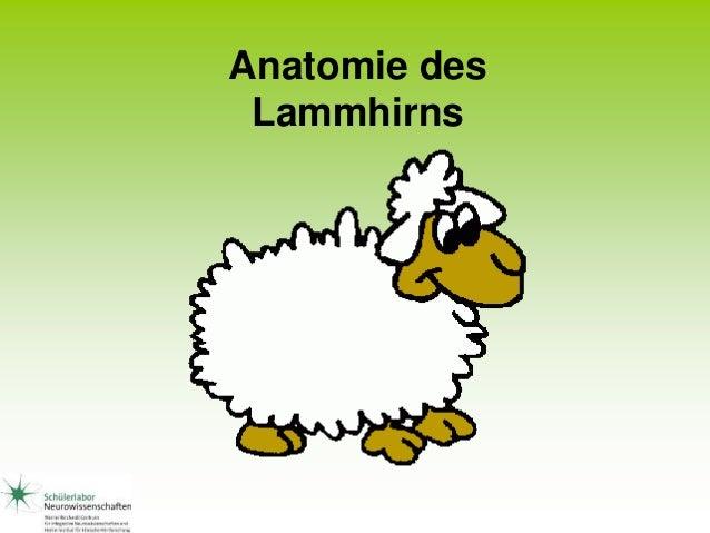 Anatomie des Lammhirns