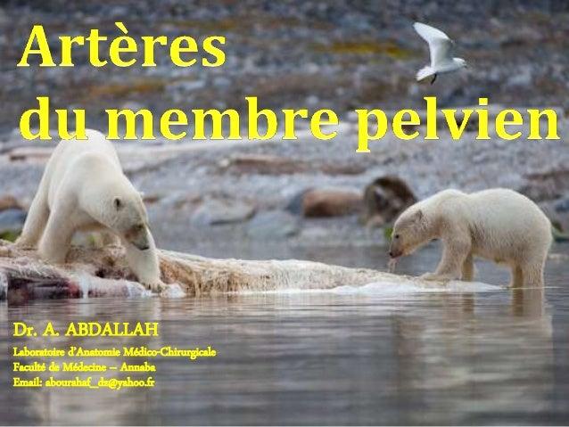 PLAN DU COURS Introduction Branches pariétales extrapelviennes de l'artère hypogastrique Artère fémorale Artère poplit...