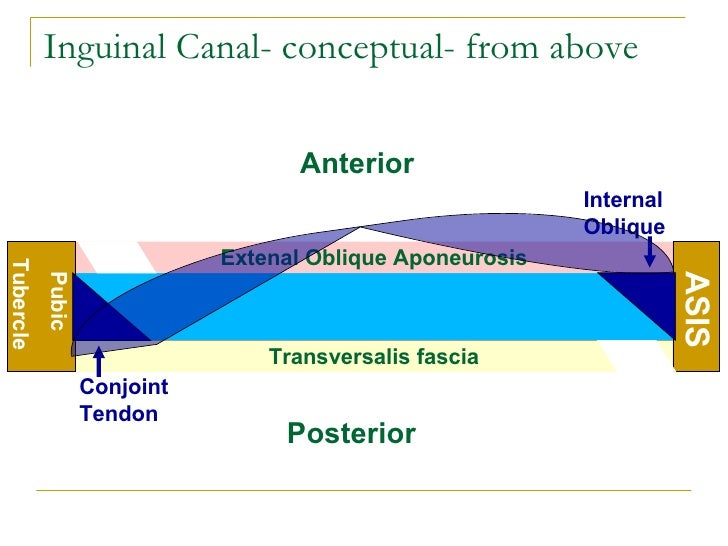 Inguinal Canal- conceptual- Inguinal Canal Anatomy Ppt