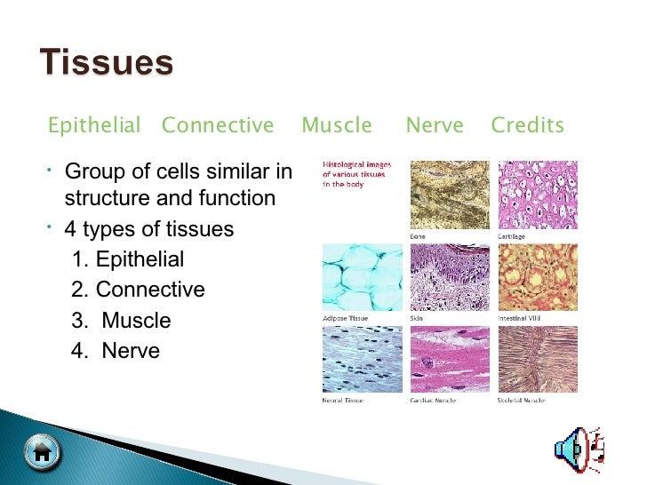 <ul><li>Group of cells similar in structure and function </li></ul><ul><li>4 types of tissues </li></ul><ul><li>1. Epithel...