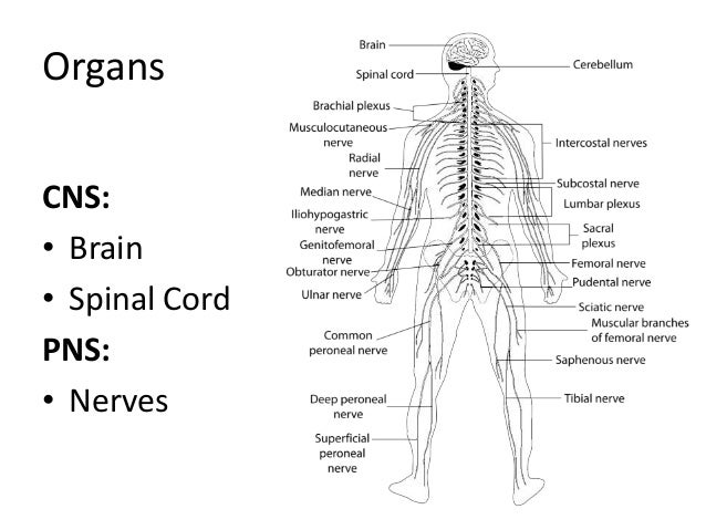 Anatomy and physiology of central nervous system