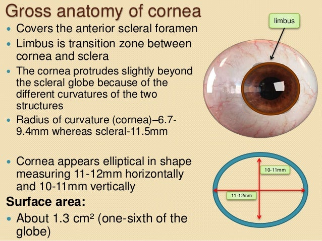 Anatomy of the cornea