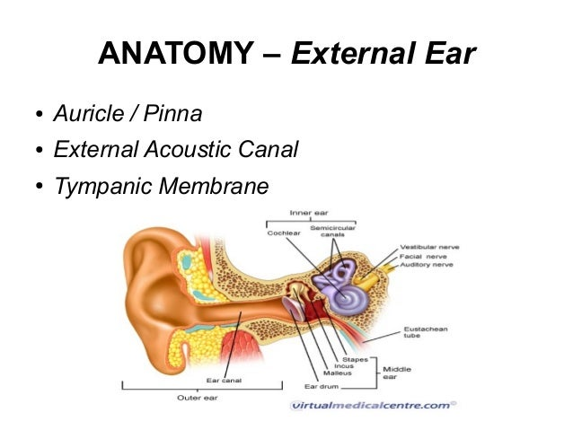 Anatomy external ear