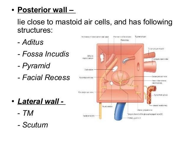 Mastoid Air Cells Mastoid Air Cells Anatomy to