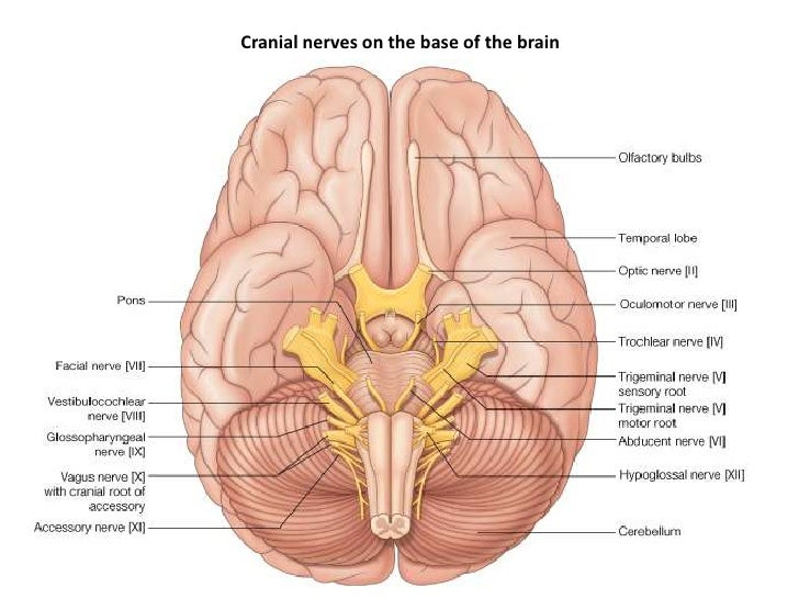 Cranial Nerves Diagram Cranial Nerves on The Base of