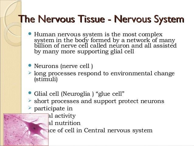 Anatomy nervous tissue   chap 13