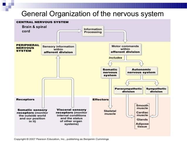 Organization of nervous tissue essay help organization of nervous tissue ccuart Image collections