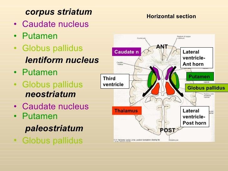 Neuroanatomy of memory  Wikipedia