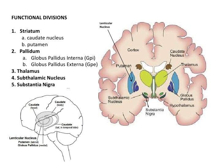 Anterior Cerebral Artery  Stritch School of Medicine