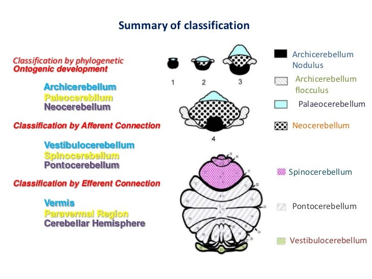 Палеоцеребеллум