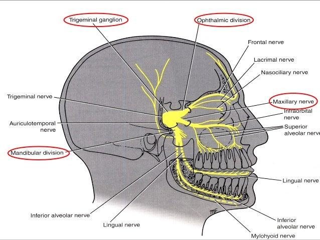 jaw anatomy diagram jaw ligaments elsavadorla. Black Bedroom Furniture Sets. Home Design Ideas