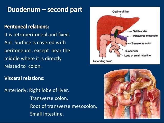 Anatomy of duodenum