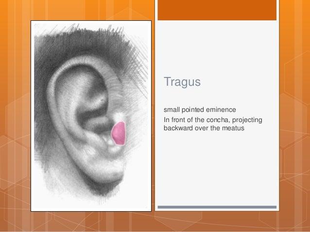Ear anatomy tragus