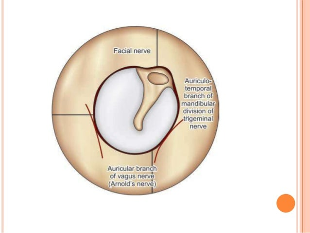Luxury Ear Anatomy Pinna Image Collection - Anatomy And Physiology ...