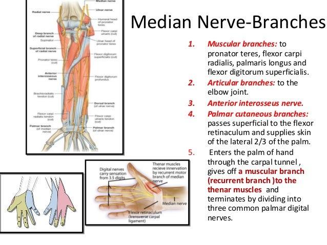 Pics For > Flexor Digitorum Superficialis Median Nerve
