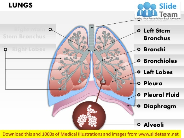 How many lobes are there in each lung? - Quora