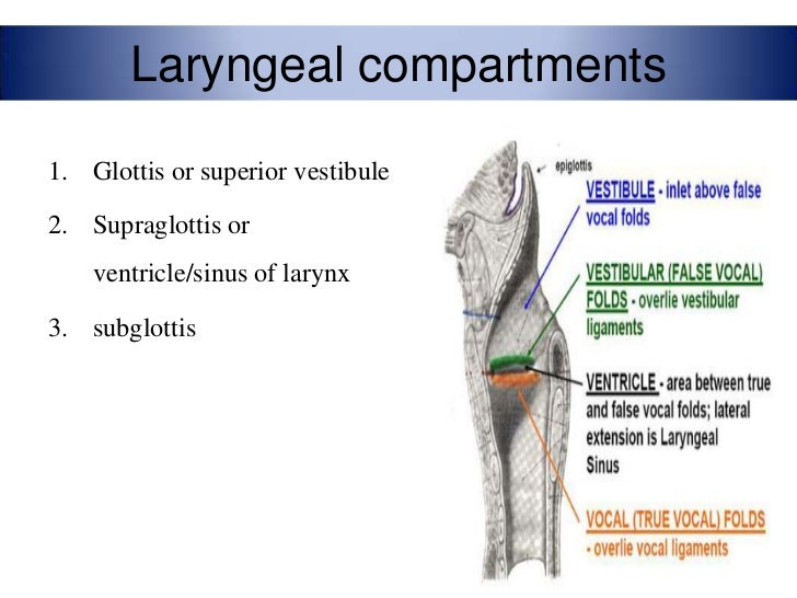 Anatomy of larynx