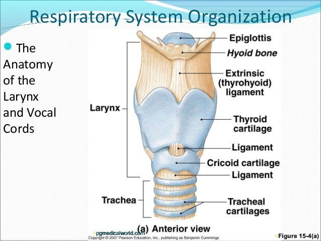 Larynx Anatomy Pictures Anatomy of The Larynx And
