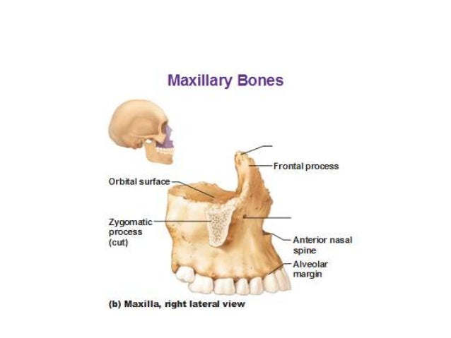 Image Gallery maxilla anatomy