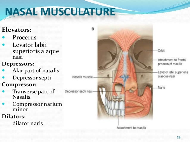 External nasal anatomy