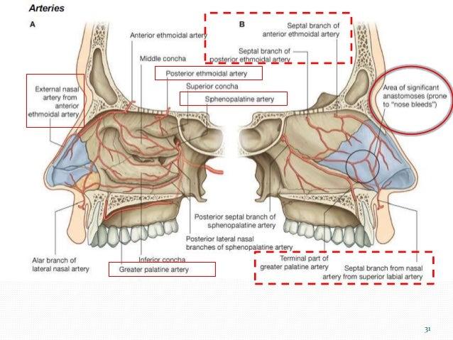 Anatomy of the nasal septum