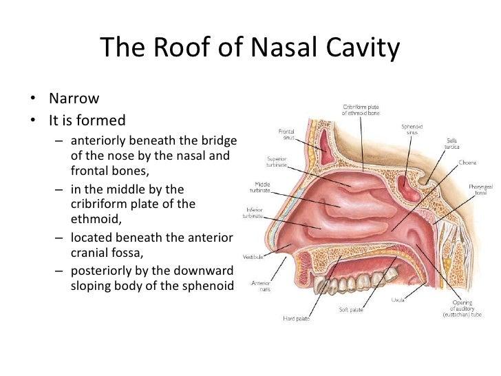 Nose sinus anatomy