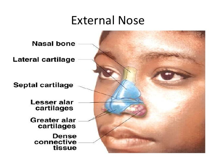 an analysis of the nose in human anatomy The nose is the body's primary organ of smell and also functions as part of  the  most common medical condition related to the nose is nasal.