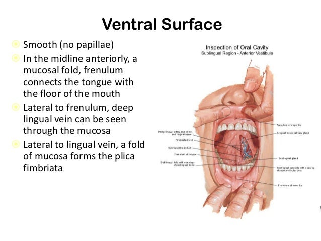 Ventral Tongue Anatomy