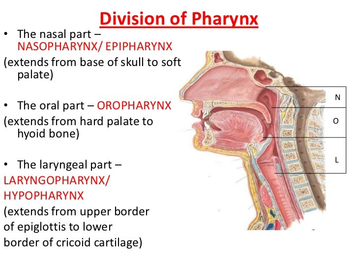 Edwards anatomy of Pharynx