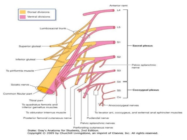 5017 in addition Full as well Poster 245 further Anatomy Of Posterior Tibial Nerve By Im moreover Zoo p018. on ventral body
