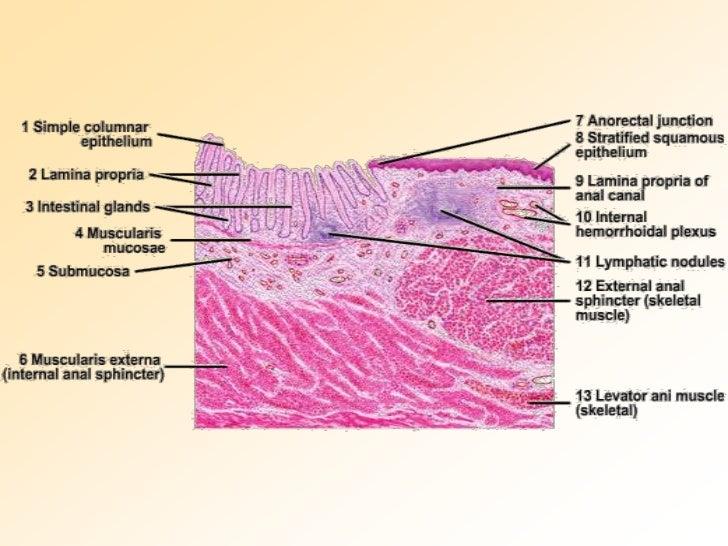 Rectal anatomy diagram