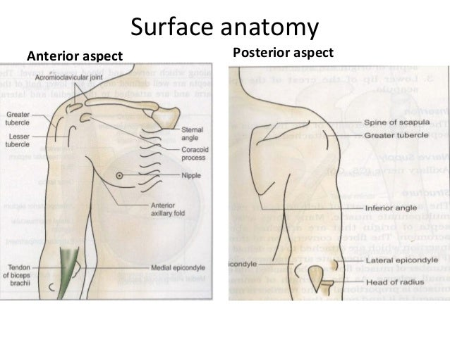Anatomy of a shoulder joint