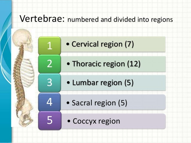 Spine Numbers Vertebra Vertebrae Numbered And