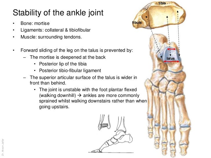 Anatomy of the ankle bones