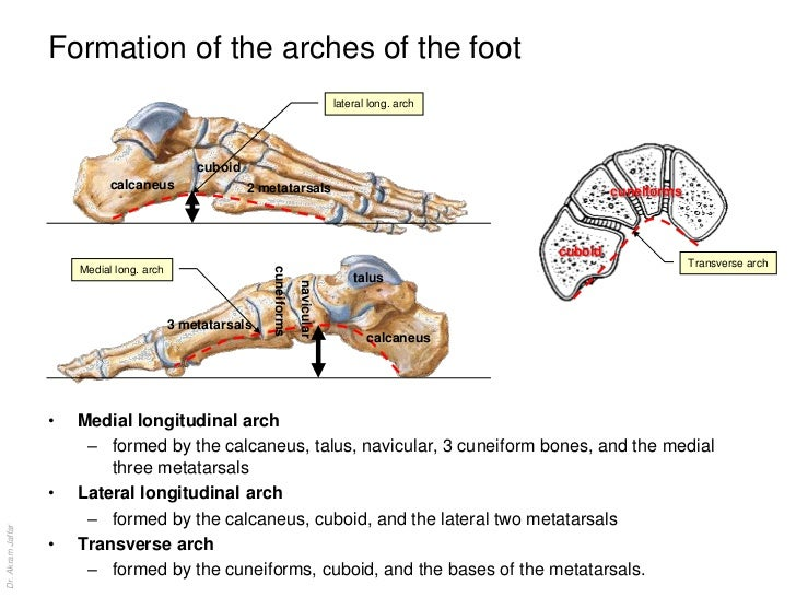Anatomy of the foot joints